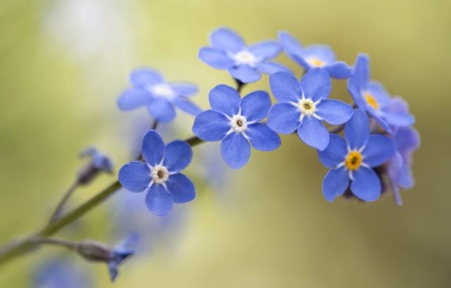 Незабудка – символ праздника «День матери»